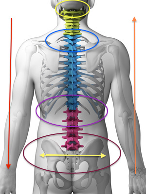 3d rendered illustration - sections of the spine