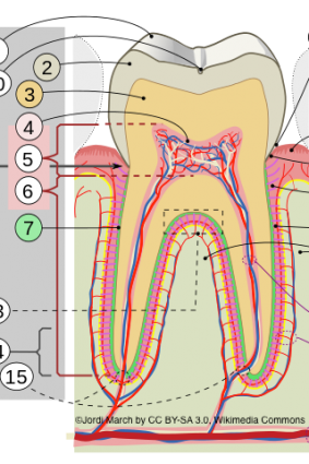 Zahnillustration Kopie